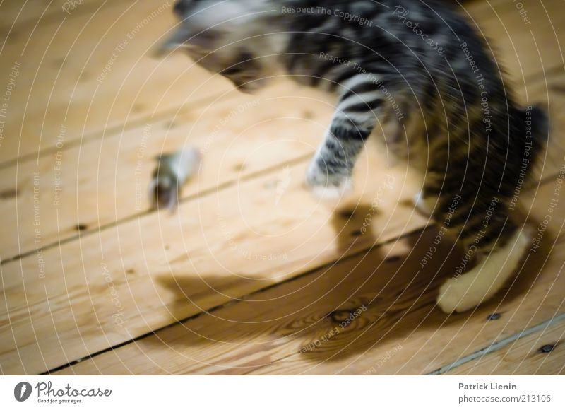 cat and mouse Animal Pet Dead animal Cat Mouse 2 Observe Discover Catch To feed Feeding Looking Exceptional Speed Moody Power Might Curiosity Colour photo