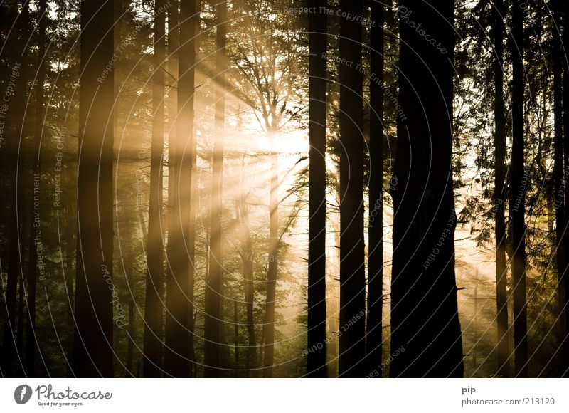 the light shines in the darkness ... Nature Sun Sunrise Sunset Beautiful weather Fog Tree Tree trunk Undergrowth Forest Dark Bright Gold Hope Kitsch Grief