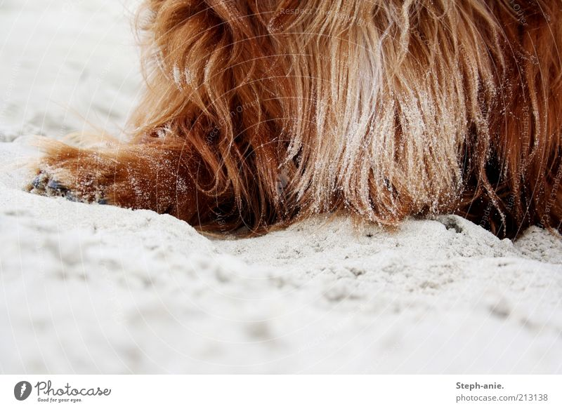 A sandy affair. Summer vacation Sand Island Borkum Pet Dog Near Red Pelt Coat color Brown Long-haired Paw Deserted Copy Space bottom Day Colour photo
