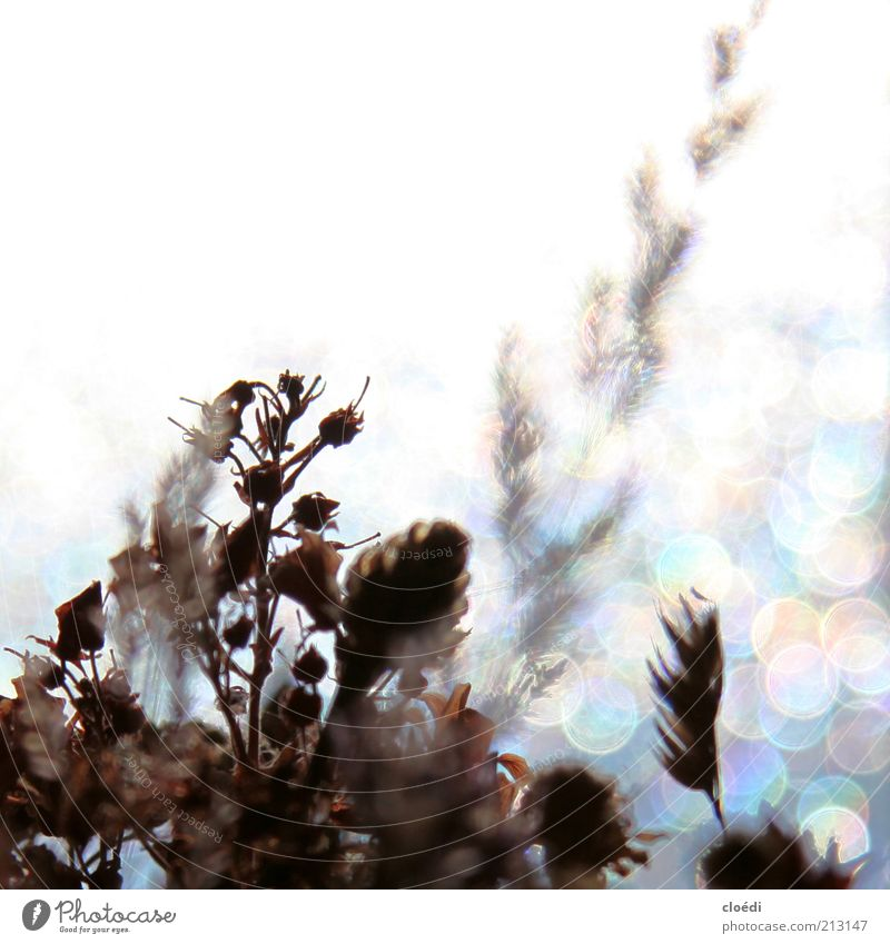 mood i Nature Plant Ice Frost Flower Blossoming Glittering Illuminate Growth Cold Dry Blue Brown Gray White Transience Multicoloured Copy Space top Light