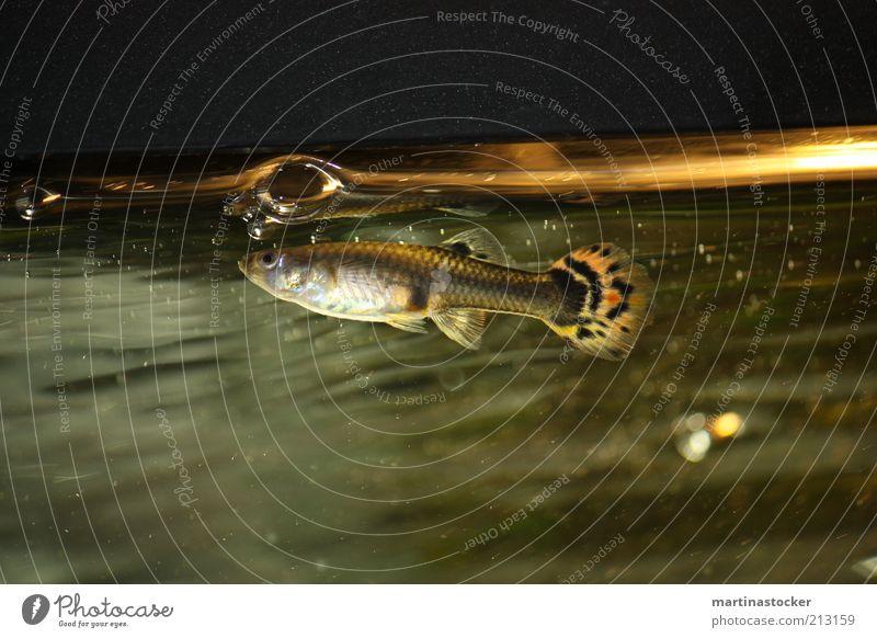 Water White Calm Animal Glass Wet Fish Serene Aquarium Soap bubble Underwater photo Bubble Fish eyes Fin Listening Scales
