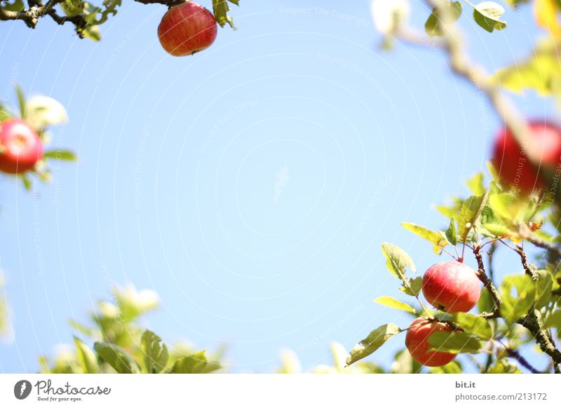 APPEL WREATH Food fruit apples Nutrition Organic produce Healthy Healthy Eating Nature Plant Sky Beautiful weather Fresh Blue Apple tree Apple harvest Harvest
