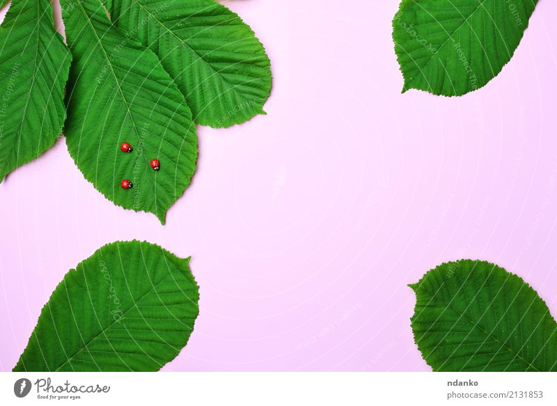 pink background with green leaves Nature Plant Animal Leaf Bright Small Natural Green Pink Red Colour Ladybird Bug Insect wildlife Chestnut Colour photo