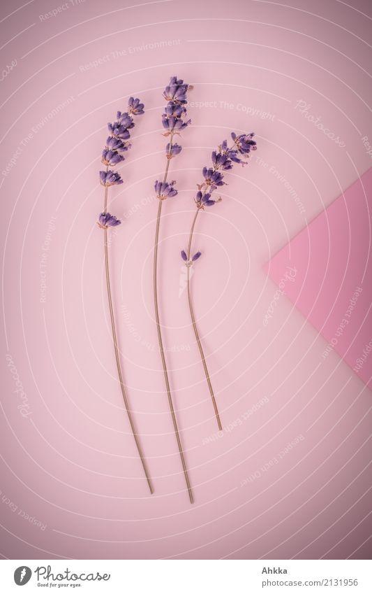 Plant Beautiful Love Background picture Pink Decoration Elegant Joie de vivre (Vitality) Romance 3 Violet Passion Fragrance Long Infatuation Cosmetics