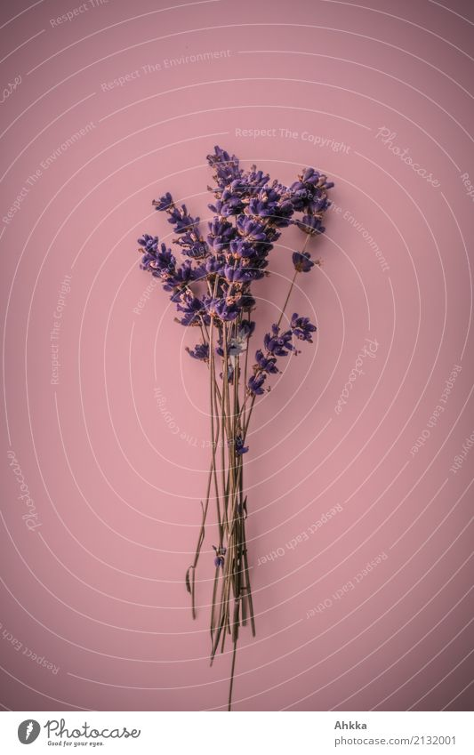 Lavender bouquet on pink background Beautiful Harmonious Contentment Senses Calm Fragrance Decoration Feasts & Celebrations Valentine's Day Mother's Day Plant
