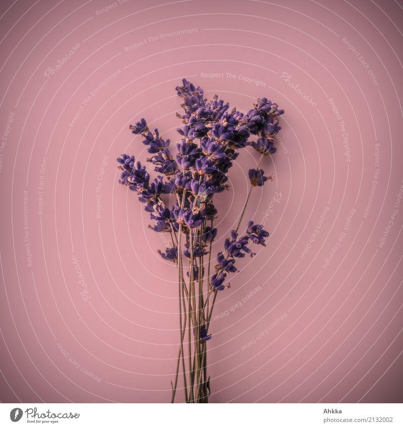 Plant Beautiful Life Pink Happiness Blossoming Joie de vivre (Vitality) Romance Friendliness Violet Bouquet Kitsch Fragrance Infatuation Senses Lavender