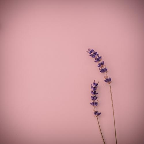 Two lavender flowers on a pink background Beautiful Harmonious Senses Relaxation Fragrance Decoration Valentine's Day Mother's Day Lavender Undulation 2