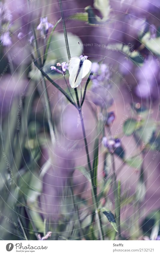 A summer day Nature Summer Beautiful weather Plant Lavender Garden Butterfly Wing Pieridae Blossoming Fragrance Violet Moody Romance Dream Summer feeling