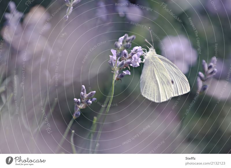 garden dreams Nature Summer Plant Lavender Garden Butterfly Wing Pieridae Blossoming Fragrance Beautiful Violet Moody Romance Dream Summer feeling