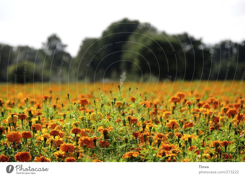 late summer Nature Landscape Plant Summer Autumn Beautiful weather Tree Flower Blossom Foliage plant Field Blossoming Orange Green Flower meadow Colour photo