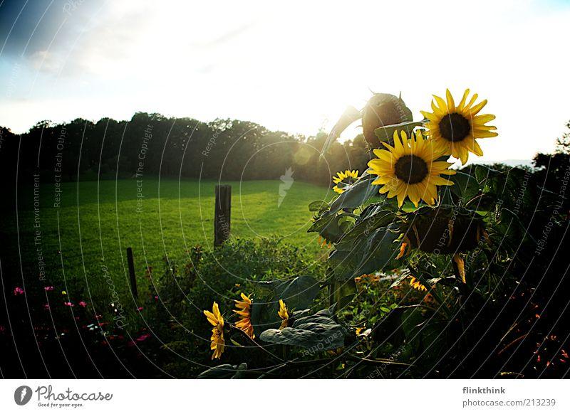 Nature White Sun Flower Green Blue Plant Summer Yellow Meadow Grass Freedom Garden Landscape Contentment Sunflower