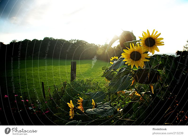 sunflowers Nature Landscape Plant Sun Sunrise Sunset Summer Grass Foliage plant Sunflower Flower Juicy Blue Yellow Green White Contentment Freedom Colour photo