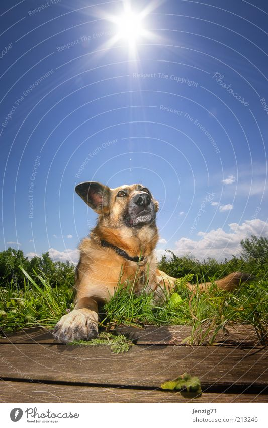 Sun on the fur. Sky Summer Beautiful weather Animal Pet Dog 1 Warmth Blue Relaxation Pelt Snout Dog's head Back-light Lie Meadow Dog's snout Colour photo