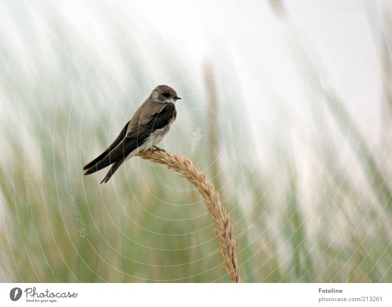 Nature Plant Summer Animal Bird Environment Free Sit Natural Wild animal Individual Swallow Marram grass Sand martin