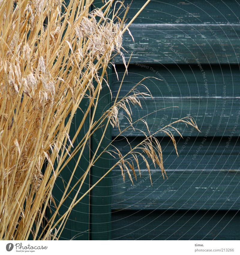 affection Grass Bundle Wood Wall (building) Wooden wall Wood grain Screening Blue-green Yellow Dry Decoration Plant Growth Lean Exterior shot Subdued colour