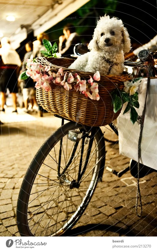 dog days Lifestyle Shopping Bicycle Means of transport Cycling Vehicle Animal Pet Dog Looking Sit Authentic Moody Contentment Trust Safety Protection