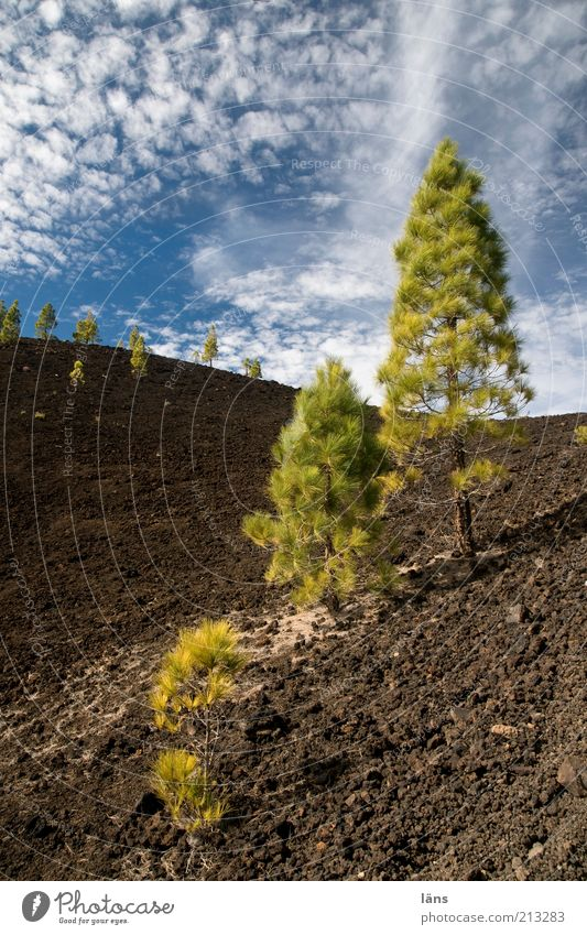 settler Mountain Plant Elements Earth Sky Clouds Volcano Exceptional Pine Tenerife Surrealism Strange Colour photo Exterior shot Deserted Blue sky Air Growth
