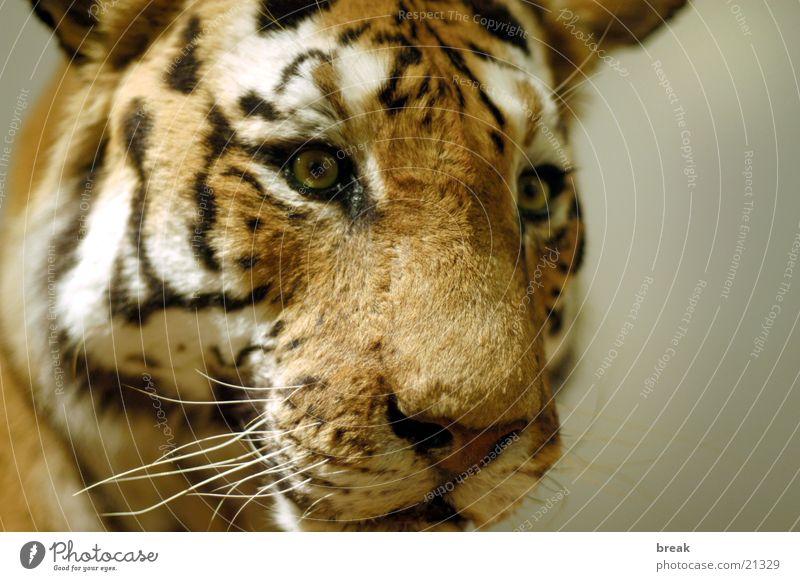 tiger Tiger Land-based carnivore near name