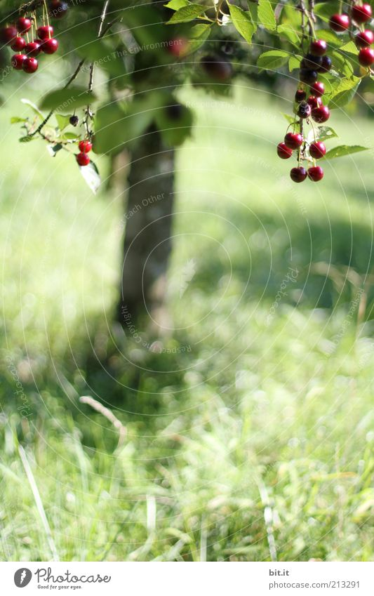 cherry Food fruit Nutrition Organic produce Nature Landscape Plant Summer tree flaked Meadow Field Juicy Sweet To enjoy Healthy Growth Cherry Cherry tree