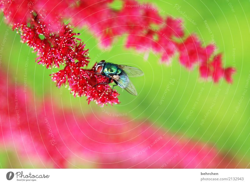 I'm going to fly to spiere. Nature Plant Animal Summer Flower Leaf Blossom Genus Astilbe Garden Park Meadow Wild animal Fly Animal face Wing 1 Observe