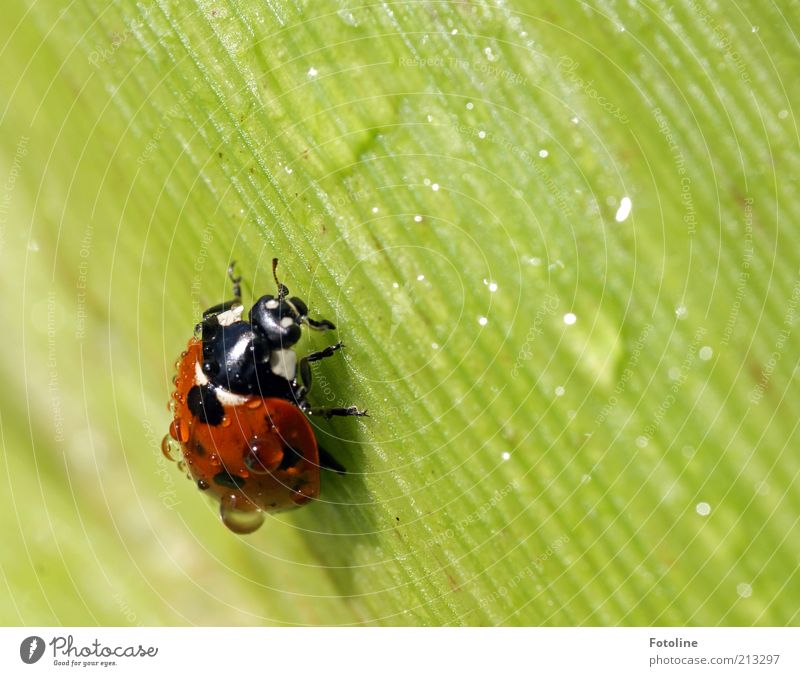 Nature Beautiful Green Plant Red Black Animal Weather Environment Drops of water Wild animal Dew Beautiful weather Beetle Ladybird Crawl