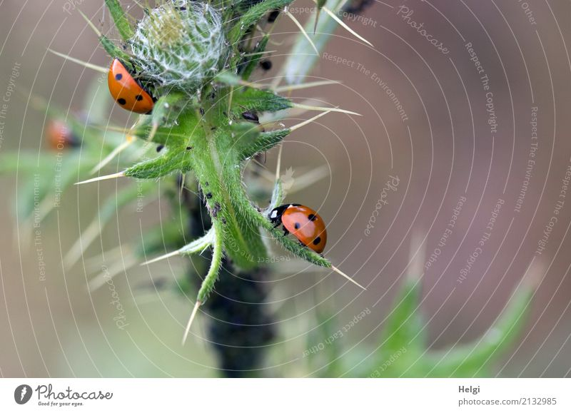 bourgeois gourmet paradise ... Environment Nature Plant Animal Summer Leaf Thistle Thorn Bud Field Beetle Ladybird Greenfly 3 To feed Crawl Growth Authentic