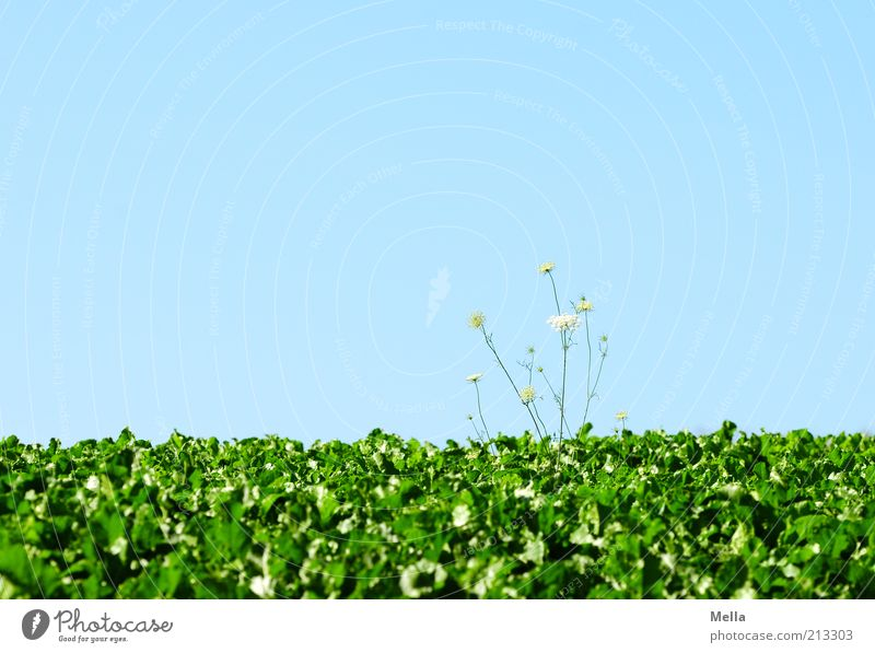 Green Blue Plant Field Growth Blue sky Cloudless sky Wild plant