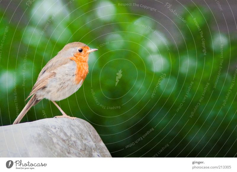 Animal Stone Bird Wild animal Stand Bushes Wing Stay Chirping Things One-legged Robin redbreast
