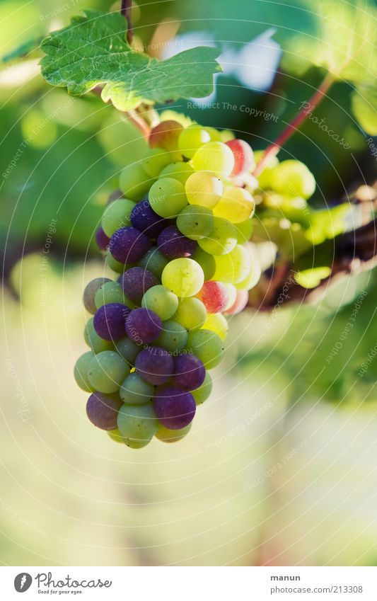grapes Fruit Organic produce Nature Plant Agricultural crop Vine Bunch of grapes Wine growing Vine leaf Grape harvest Growth Authentic Fresh Healthy Delicious
