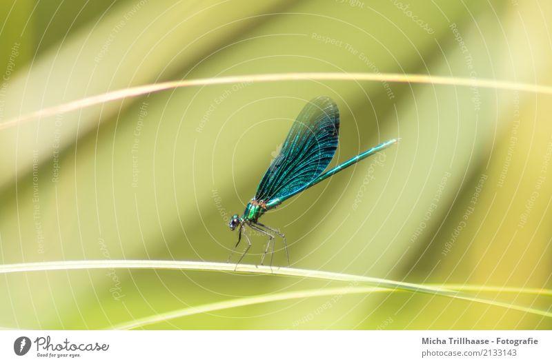 Dragonfly on a blade of grass Environment Nature Animal Sun Sunlight Beautiful weather Grass Wild animal Animal face Wing Dragonfly wing Insect Legs Eyes 1