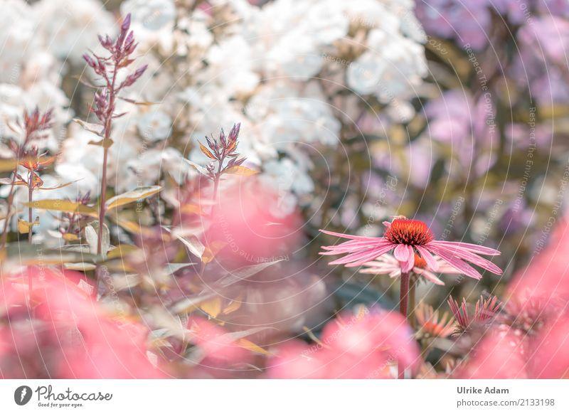 Purple sun hat (Echinacea purpurea) Elegant Style Design Arrange Decoration Wallpaper Image Card Thanksgiving Nature Plant Summer Flower Leaf Blossom