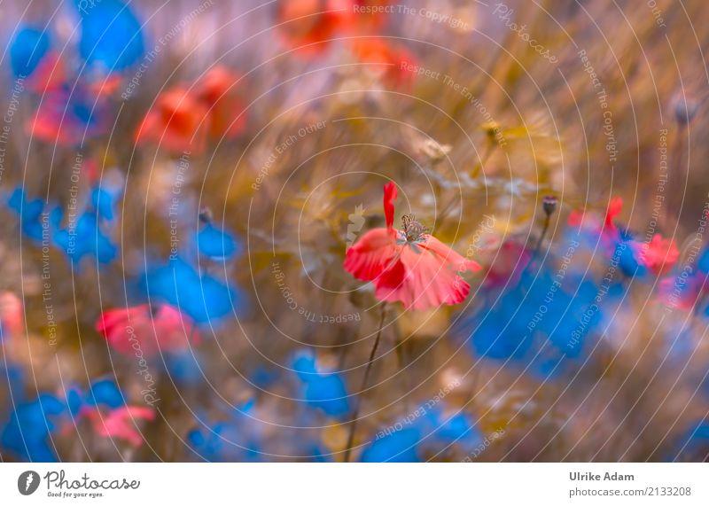 Nature Plant Blue Summer Flower Red Relaxation Calm Blossom Meadow Garden Design Park Field Decoration Joie de vivre (Vitality)