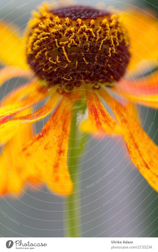 Sun Bride ( Helenium) Nature Plant Summer Autumn Flower Blossom sun bride helenium Sunflower Garden Park Glittering Illuminate Yellow Orange Happy