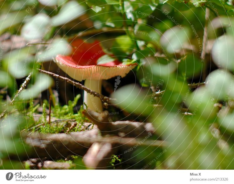 in the wood Food Nature Autumn Bushes Growth Small Red Poison Mushroom Mushroom cap Amanita mushroom Hide Colour photo Multicoloured Exterior shot Close-up