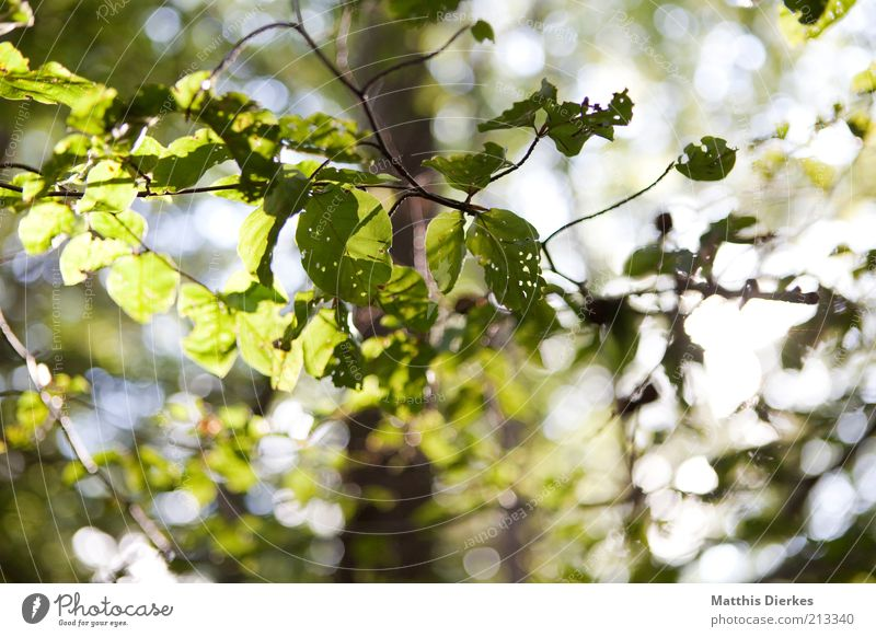 Nature Tree Green Plant Summer Leaf Autumn Weather Environment Esthetic Beautiful weather Twig Beech tree Sunlight Leaf canopy