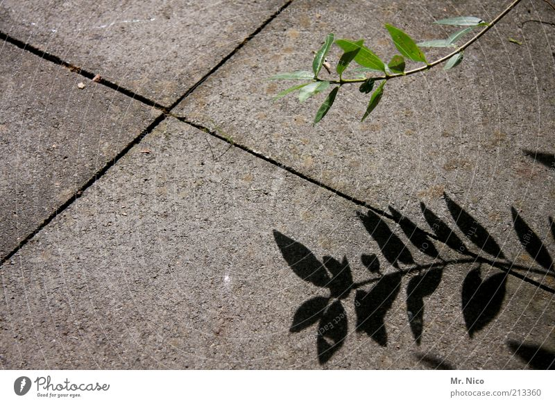 shade plant Plant Leaf Gray Green Concrete floor Stone slab X Growth Part of the plant Botany Shade plant Nature Gloomy Deserted Shadow Stone floor Seam
