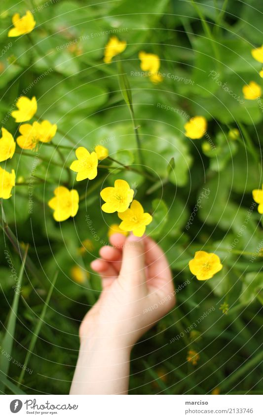 buttercup Child Hand Environment Nature Landscape Plant Flower Grass Blossom Garden Park Meadow Outskirts Fragrance Discover Yellow Spring fever Caution Colour