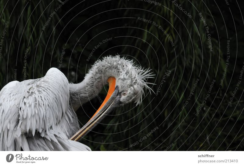 cleaning day Animal Wild animal Bird 1 Cleaning Feather Soft Fuzz Beak Pelican Animal portrait Animal face Isolated Image Comical Funny Disheveled