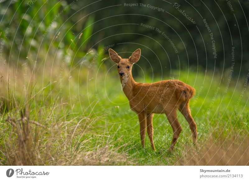 Happy Rehkind Environment Nature Plant Animal Weather Beautiful weather Grass Bushes Wild plant Meadow Field Forest Wild animal Animal face Pelt Roe deer Fawn 1