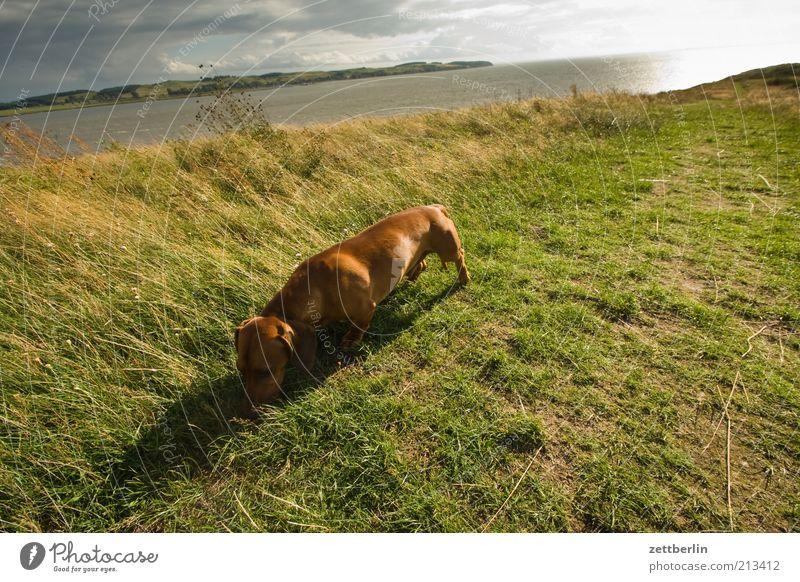Foreign dachshund on the Schafberg Environment Nature Landscape Sky Horizon Coast Baltic Sea Pet Dog August Dachshund Odor Search Grass Water Ocean
