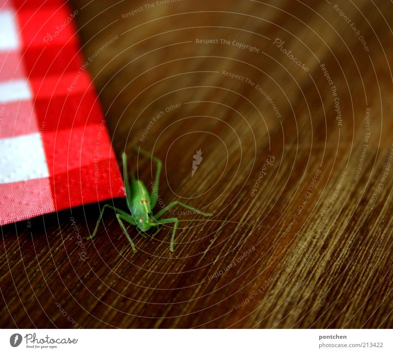 A grasshopper next to a red and white checked napkin on a wooden table. Wild animal. Colour contrast. Green and red Animal Locust 1 Napkin Brown green Insect