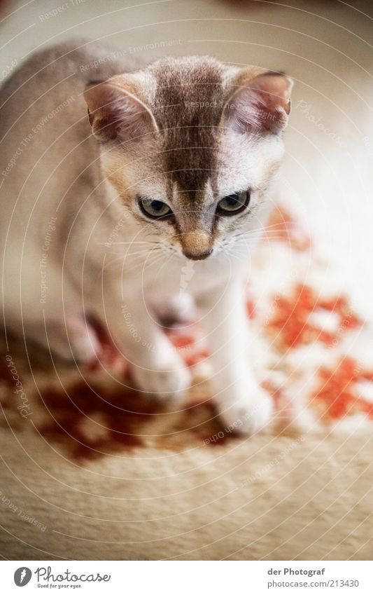hunting instinct Animal Pet Cat Animal face Pelt 1 Baby animal Hunting Curiosity Whisker Colour photo Interior shot Copy Space bottom Blur Animal portrait