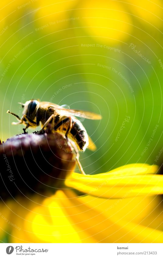 flower ascent Environment Nature Plant Animal Sunlight Summer Beautiful weather Flower Blossom Blossom leave Wild animal Bee Wing Insect 1 Yellow Green