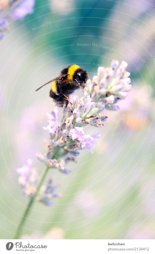 Hummel Hummel mors mors Nature Plant Animal Summer Beautiful weather Flower Blossom Lavender Garden Park Meadow Wild animal Animal face Wing Bumble bee 1
