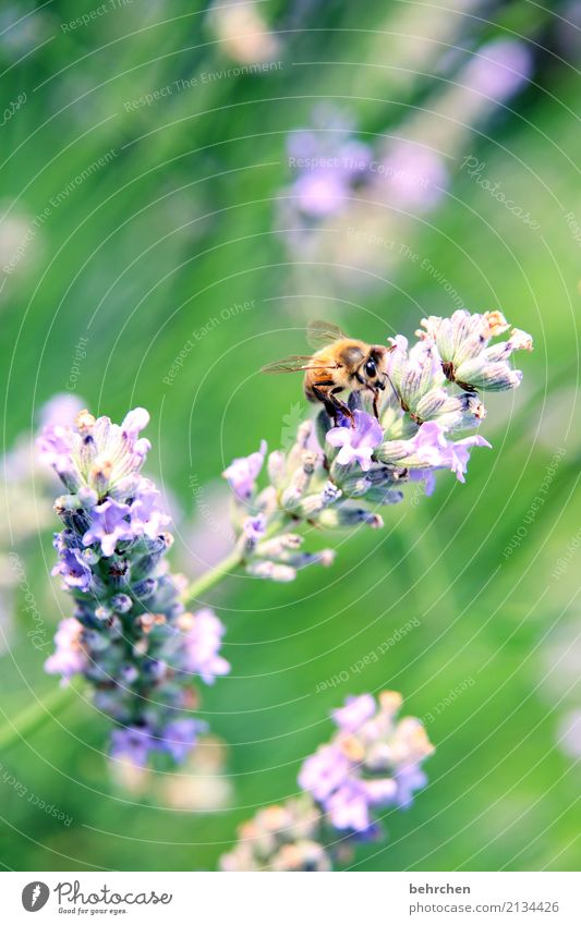 last summer day... Nature Plant Animal Summer Beautiful weather Flower Leaf Blossom Lavender Garden Park Meadow Wild animal Bee Animal face Wing Blossoming