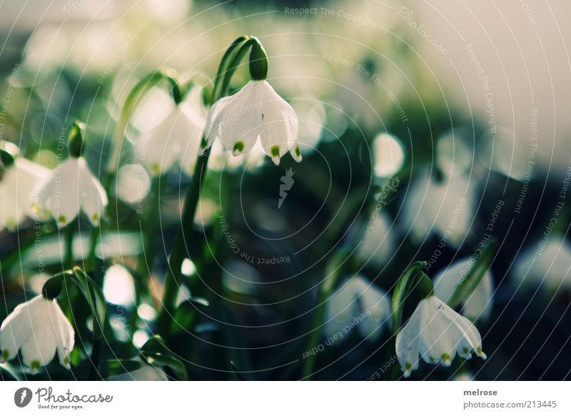 SPRING MESSENGERS Environment Nature Plant Earth Spring Flower Blossom Snowdrop Blossoming Growth Green White Colour photo Subdued colour Exterior shot Deserted