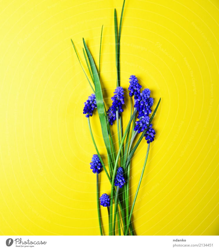 Yellow background with blue flowers Beautiful Summer Garden Decoration Nature Plant Flower Leaf Blossom Bouquet Fresh Bright Natural Blue Green hyacinth