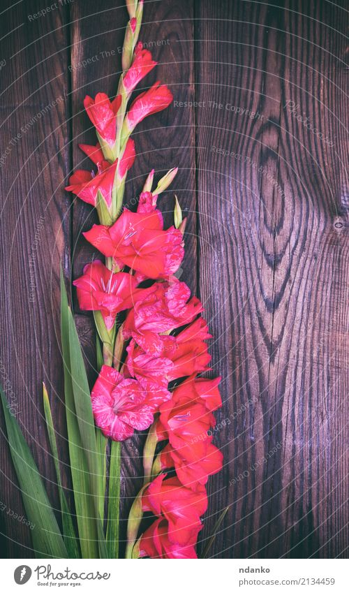 bouquet of red gladiolus Feasts & Celebrations Wedding Nature Plant Flower Leaf Blossom Bouquet Blossoming Fresh Natural Brown Green Red Colour background