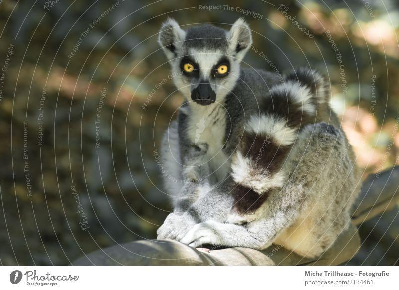 Piercing gaze Nature Animal Sun Beautiful weather Plant Tree Wild animal Animal face Pelt Paw Ring-tailed Lemur Monkeys Half-apes Eyes Tails 1 Observe