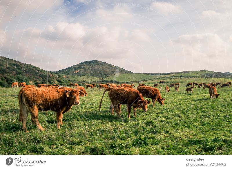 Cows on a lush green meadow Meat Sausage Cheese Dairy Products Organic produce Milk Farmer Agriculture Cattle breeding Environment Nature Landscape Plant Animal